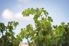 Weinstöcke nahe Montemassi Stockfotografie