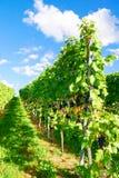 Weinstadt панорамы виноградников Стоковая Фотография
