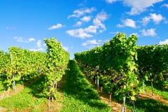 Weinstadt панорамы виноградников Стоковое Фото