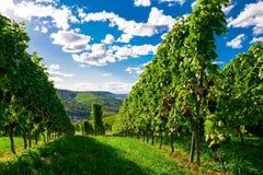 Weinstadt панорамы виноградников Стоковые Изображения RF
