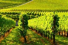 Weinstadt di panorama delle vigne Immagini Stock Libere da Diritti