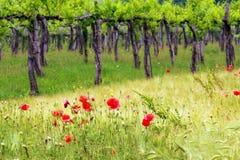 Weinstock Stockbilder