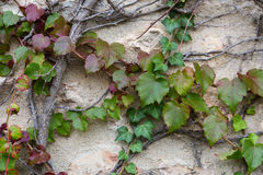 Weinstock auf der alten Wand, natürlicher Hintergrund stockfotos