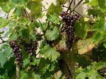 Weinstock, der auf der Wand, mit reifenden Trauben klettert Stockfotografie
