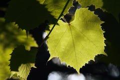 Weinstock in der rückseitigen Beleuchtung Stockfotografie
