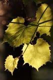 Weinstock in der rückseitigen Beleuchtung Lizenzfreie Stockfotografie