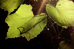 Weinstock in der rückseitigen Beleuchtung Stockbild