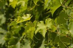 Weinstock an einem sonnigen Tag Stockfotografie