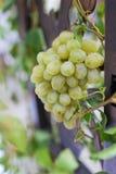 Weinstock in einem Weinberg Lizenzfreie Stockbilder