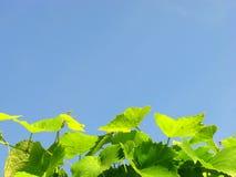 Weinstock gegen dunkelblaues der Himmel Lizenzfreie Stockfotos
