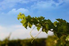 Weinstock gegen einen blauen Himmel Stockbild