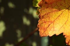 Weinstock-Herbst Stockfoto