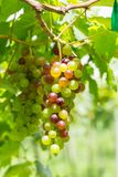 Weinstock im Garten; selektiver Fokus mit Unschärfehintergrund Stockbild