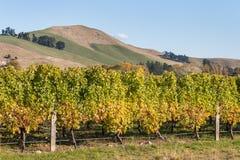 Weinstock im Weinberg im Herbst Stockbild