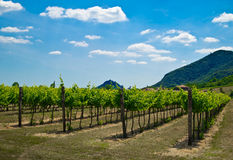 Weinstockanlagen in einem Weinberg Stockfotos
