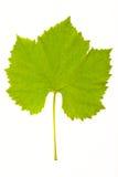 Weinstockblätter Lizenzfreies Stockbild