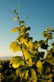 Weinstockblätter stockfotografie