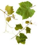Weinstockblätter - getrennt Lizenzfreies Stockfoto