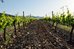 Weinstockplantage Lizenzfreie Stockbilder