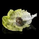 Weinstockschnecke auf frischem grünem Kopfsalatblatt Stockfotos
