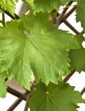 Weinstockurlaub im Frühjahr Stockfotografie