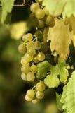 Weintraube Lizenzfreie Stockbilder