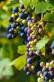 Weintraube Stockfoto