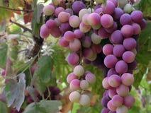Weintraube Lizenzfreies Stockbild