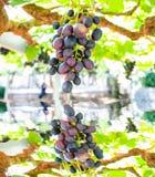 Weintraube auf dem Gebiet der Belastung auf einem grünen Hintergrund und Reflexion im Teich Stockfotos