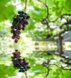 Weintraube auf dem Gebiet der Belastung auf einem grünen Hintergrund und Reflexion im Teich Lizenzfreie Stockbilder