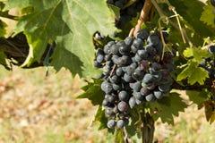 Weintraube auf dem Weinstock Stockfotografie