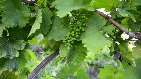 Weintraube auf der Rebe mit Grün verlässt in der Entwicklungsphase stock video footage