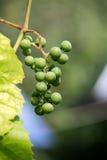 Weintraube auf der Rebe mit grünen Blättern Lizenzfreie Stockfotografie