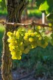 Weintraube auf einer Rebe Lizenzfreie Stockfotos