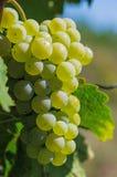 Weintraube auf einer Rebe Lizenzfreie Stockbilder