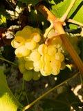 Weintraube bereit zur Ernte Lizenzfreie Stockfotos