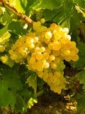 Weintraube bereit zur Ernte Stockbilder