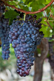 Weintraube hängend an einer Rebe Stockfotografie
