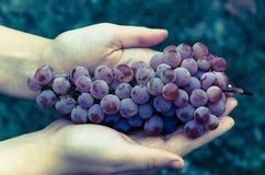 Weintraube liegend in den Händen Stockbild