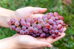 Weintraube liegend in den Händen Lizenzfreie Stockbilder
