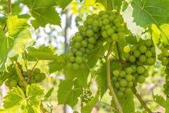 Weintraube Nahaufnahme Stockbilder