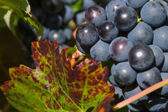 Weintraube Schwarzes Stockfoto