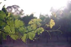 Weintrauben Stockfotografie