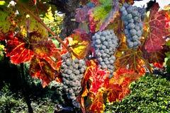 Weintrauben Stockfoto