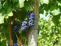 Weintrauben auf der Rebe Stockfotografie