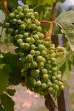 Weintrauben auf der Rebe Lizenzfreies Stockbild