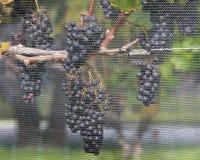 Weintrauben auf der Rebe Stockfotos
