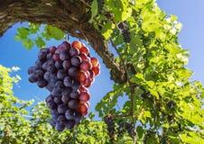 Weintrauben auf der Rebe stockfoto