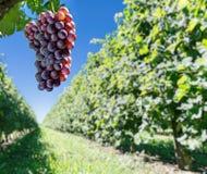 Weintrauben auf der Rebe stockbild