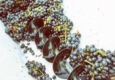 Weintrauben in der Rebe drücken, Herbsternte Lizenzfreies Stockfoto